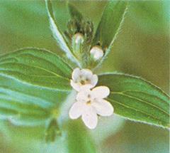 ムラサキ草